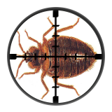 Bed Bugs (Cimex Lectularius) - Targetted Bed Bug Control from Millennium Pest Control London