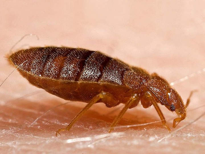 After feeding Bed Bugs become longer and thinner