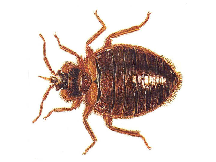Are Bed Bugs Similar To Ticks