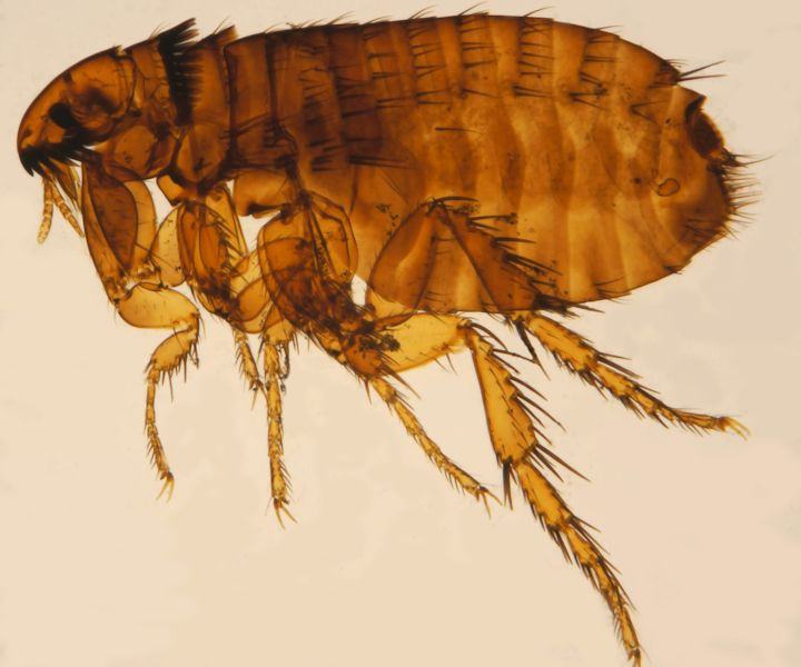 Cat Flea (Ctenocephalides Felis) London