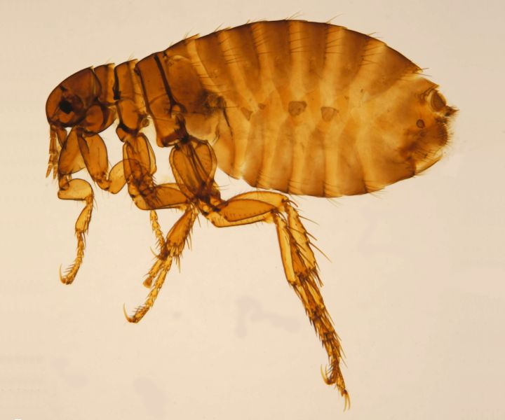 Fleas (Pulex Irritans) London