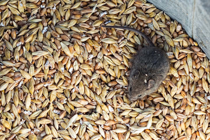 Mice cause extensive damage to foodstuffs in London